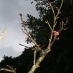 新春 おきなわ 桜の花!