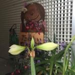 アマリリスの開花の様子