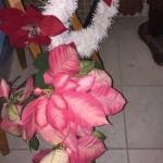 ポインセチア|よーく見るとこんな花