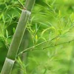 板倉聖宣からの宿題(4)たのしい植物入門「サトウキビはどういう植物と同じ仲間でしょう?」