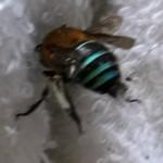 たのしい昆虫入門 =昆虫の名前を調べてみよう(2)ミツバチとハナバチ