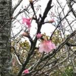 たのしい桜の〈つぼみ見〉〈花見〉 予想を立てるとさらにたのしい