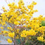 花と親しむシリーズ  コガネノウゼン(イペー)の花