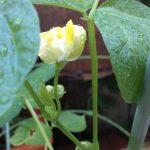 自由研究こそ本物の研究「キッチンは宝箱」から〈この可愛くてきれいな花は何でしょう?〉/植物を育てることを楽しむ(1)