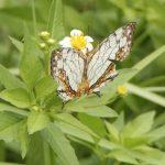 チョウの顔をよく見たことがありますか? 自由研究はたのしい