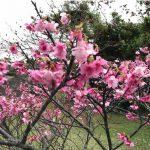研究所の周りの公園もサクラが満開になってきました/花が無くても枯れ木と勘違いすることなかれ