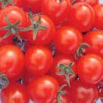 たのしく賢く予想チャレンジ! 食べ終えたトマトの食べ残しのタネから実ができるの? その後