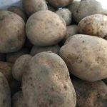 たのしい教育を影に日向に応援してくれる方々/おいしいジャガイモが届く&ジャガイモは根なの茎なの?