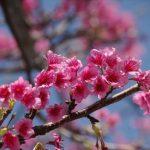秋の植物をたのしむ/不思議発見〈カエデと桜〉②