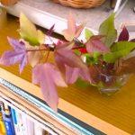 桜の超早咲き/生物の多様性