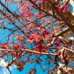 秋の植物をたのしむ/不思議発見〈カエデと桜〉①