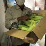 トウモロコシの自由研究/応援団の方から今年もおいしいトウモロコシが届きました